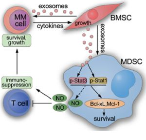 Schematic showing how BMSC exosomes indirectly favor MM cells through activating MDSCs.