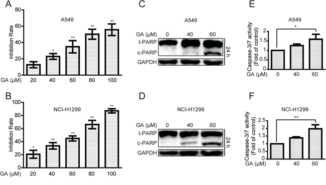 GA increases cell proliferative inhibition and apoptosis in A549 and NCI-H1299 cells.