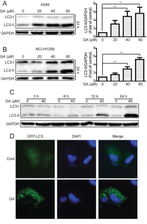 GA increases LC3-II expression and GFP-LC3 punta formation in A549 and NCI-H1299 cells.