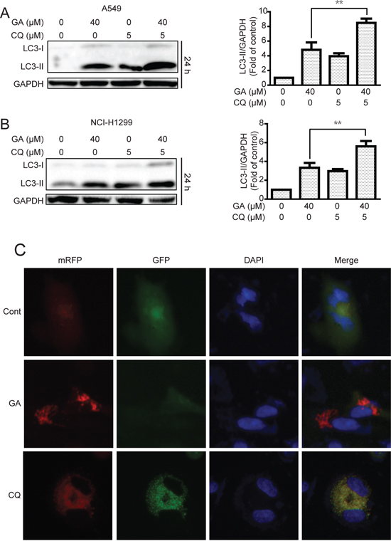 GA induces autophagic flux in A549 and NCI-H1299 cells.