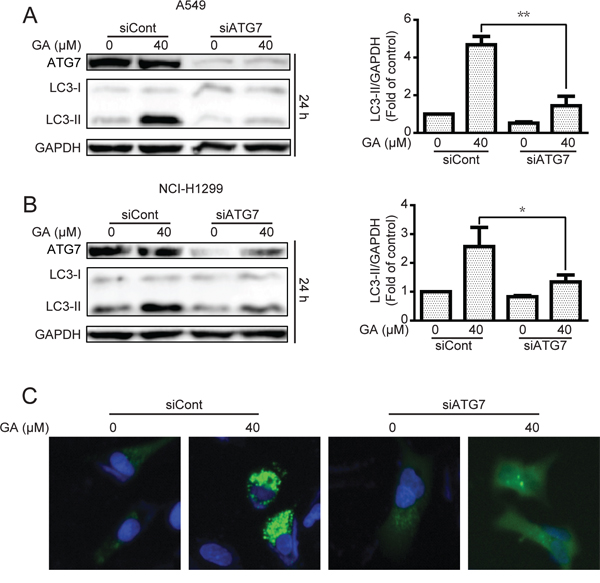 GA-induced autophagy is correlated with ATG7 in A549 and NCI-H1299 cells.