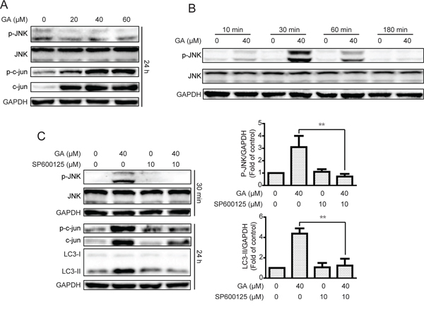 GA-induced autophagy is correlated with the JNK/c-jun pathway.