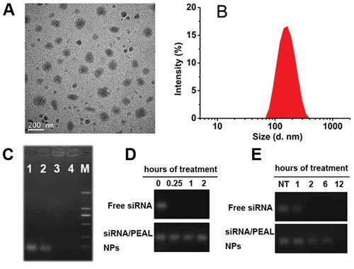 Characterization of siRNA-loaded PEAL NPs.