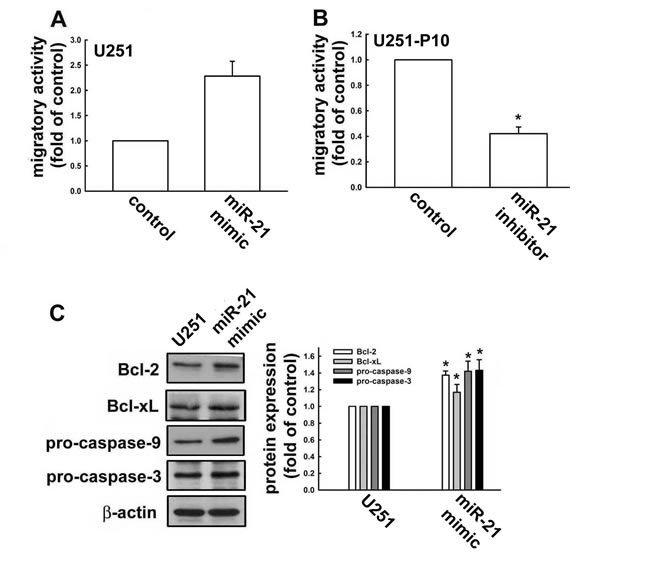 miR-21 expression is involved in regulation of apoptotic pathways and promotes cell migration.