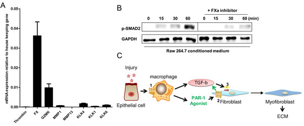 PAR-1-induced TGF-β activation on fibroblasts is mediated by FX.