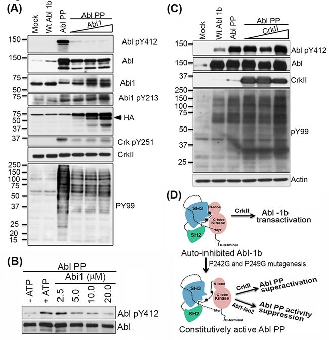Abi1-Iso2 can bind to open conformation of Abl kinase to suppress its activity
