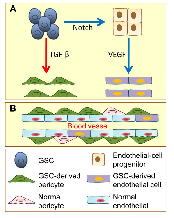 Glioblastoma stem cells (GSCs) have the potential to give rise to endothelial cells and pericytes.