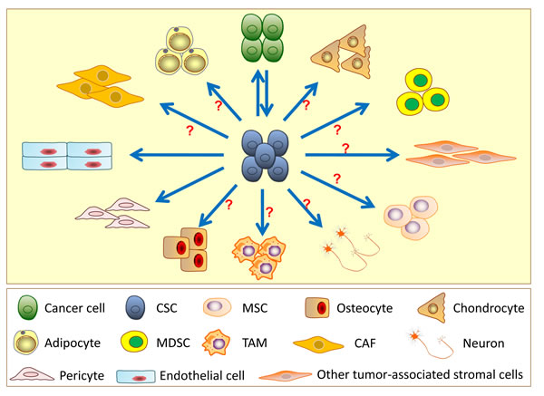 Differentiation and transdifferentiation potentials of cancer stem cells (CSCs).