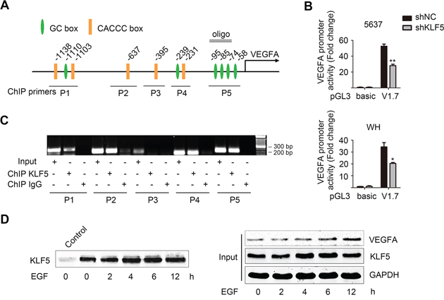 KLF5 directly binds to VEGFA promoter and regulates its transcription activity.