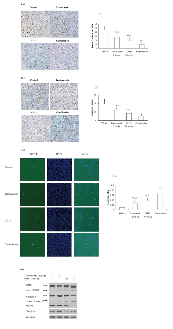 Combination of CH12 with trastuzumab reduced proliferation and angiogenesis and induced apoptosis in the tumor xenografts.