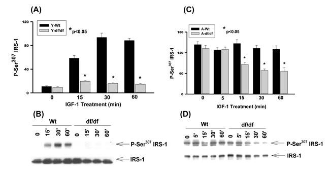 The IGF-1 stimulated phosphorylation of IRS-1 Ser