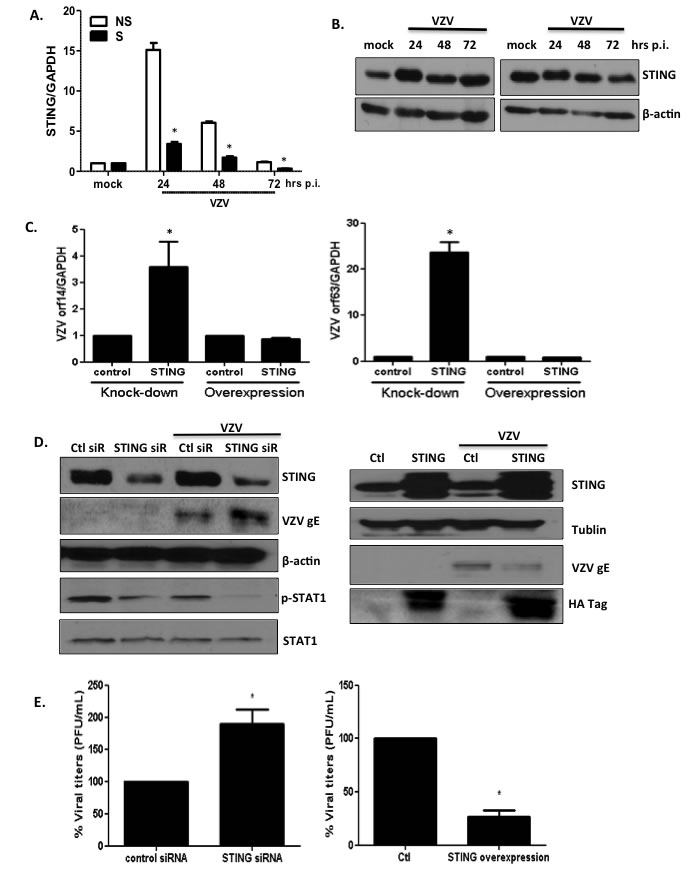 STING plays an important role in modulating replication of VZV.