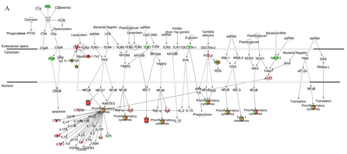 Pathway for pattern recognition receptor of VZV-infected HGPS cells.