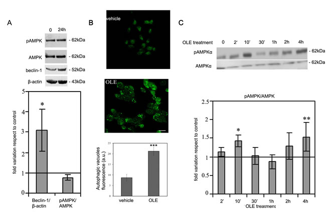 OLE induces autophagy and a biphasic increase in AMPK phosphorylation during short treatments.