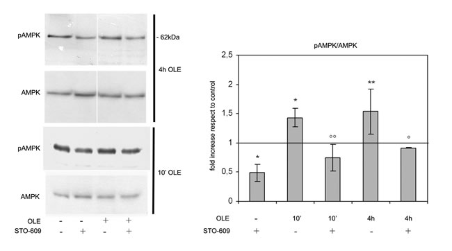 OLE-induced AMPK phosphorylation depends on CaMKKβ signalling.