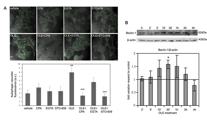 Short time cell treatment with OLE efficiently triggers the autophagic cascade.