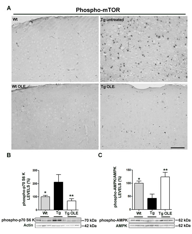 OLE restores to control levels the expression of phospho-mTOR, phospho-p70S6K and phospho-AMPK in the cortex of 6-12-month-old TgCRND8 mice.