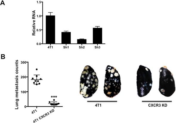 Figure 2. CXCR3 promotes metastasis.