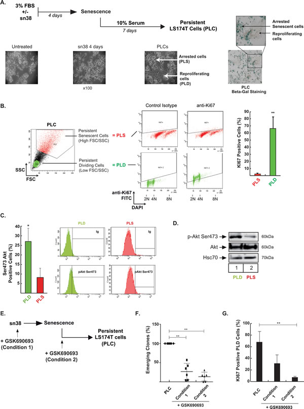 Akt inhibition prevents cell emergence and treatment escape.