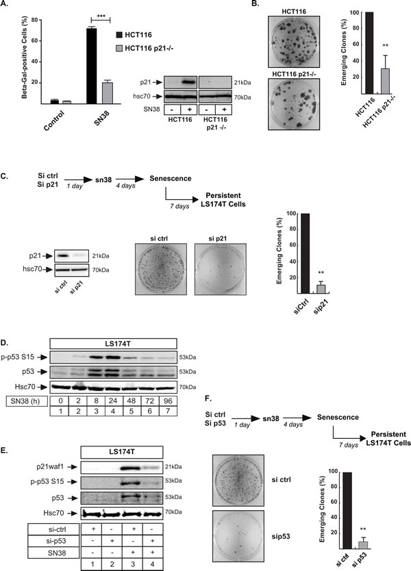 The presence of p21waf1 is necessary for cell emergence.