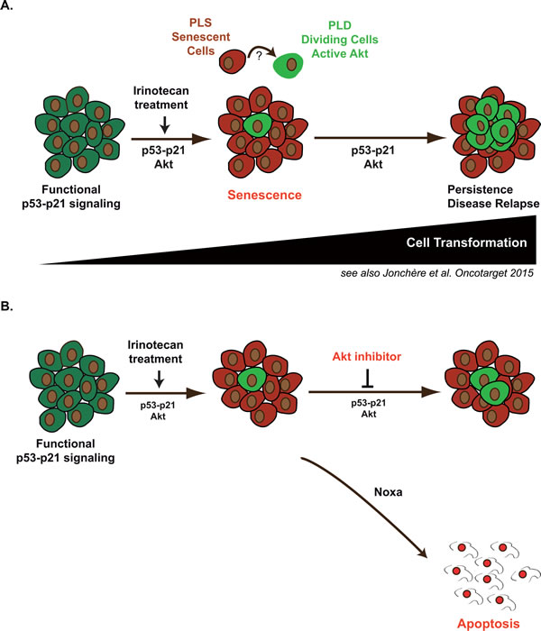 Emergence in response to sn38 is associated with increased Akt activation: apoptosis induction should reduce irinotecan and senescence failure in colorectal cancer.
