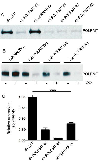 Effects of shRNA against POLRMT on target knockdown.
