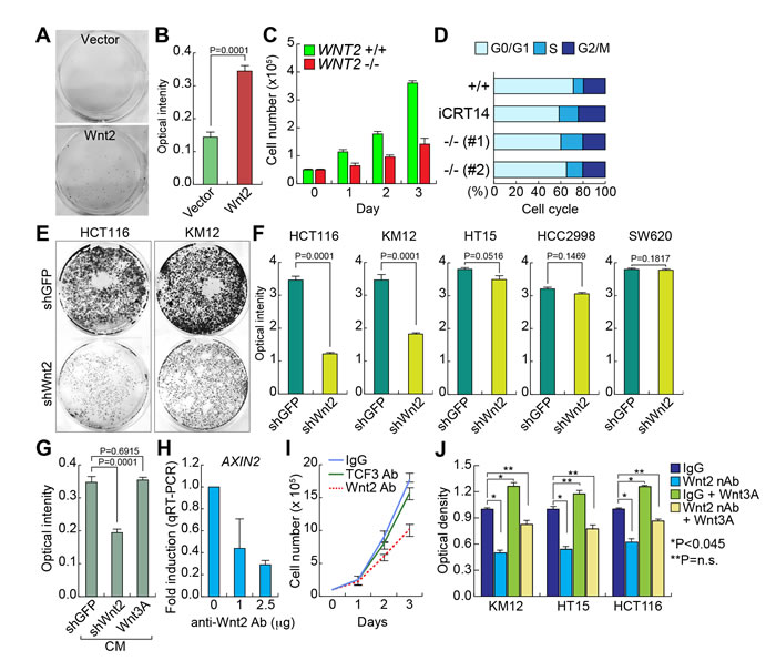 Wnt2 is required for CRC cell proliferation.