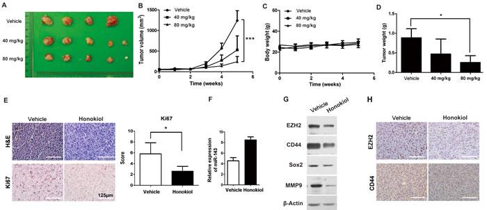 Honokiol decreased T24 UBC tumor growth