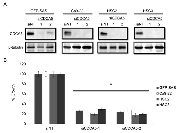 Knockdown of CDCA5 in human OSCC cells by siRNA.
