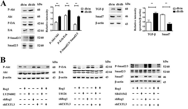 Intracellular mechanism of action of Reg1 in the inhibition of ISC activation.