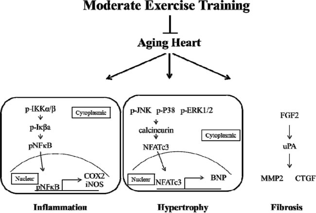 Moderate exercise training prevents aging-induced heart injury via down-regulated inflammation, hypertrophy and fibrosis.