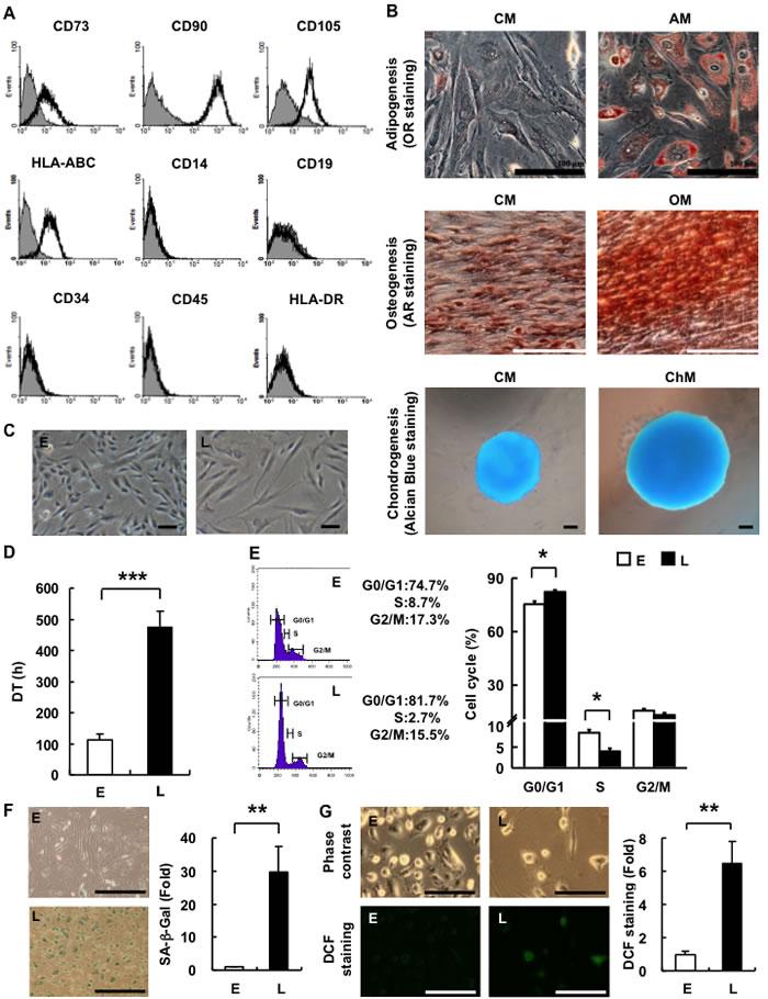 hAMSCs are multilineage cells which undergo