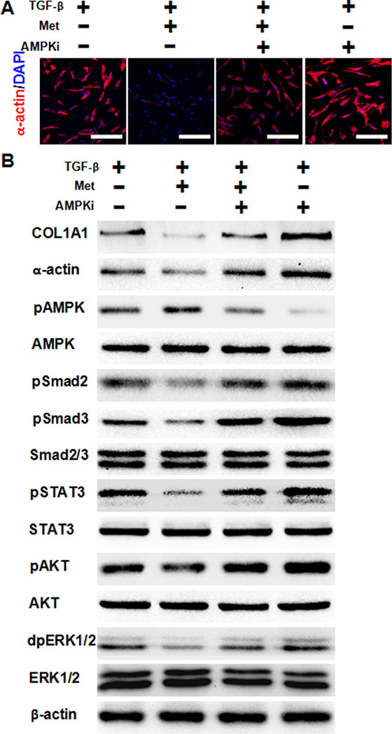 AMPK activation is required for metformin to attenuate TGF-β-induced fibrosis.