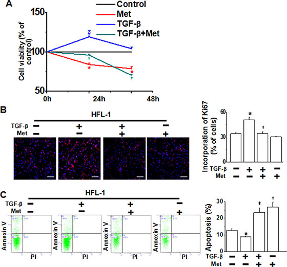 Metformin inhibits cell proliferation and promotes apoptosis in HFL-1 cells.