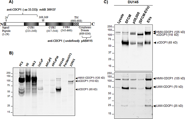 Analysis of extracellular forms of CDCP1.