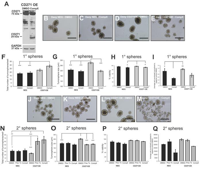 γ- secretase inhibitor (Compound X) treatment of Daoy CD271 OE cells results in a reversal of the OE phenotype.