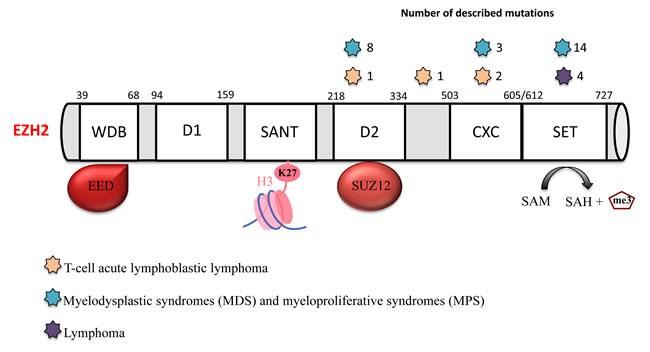 EZH2 mutations in hematological malignancies.