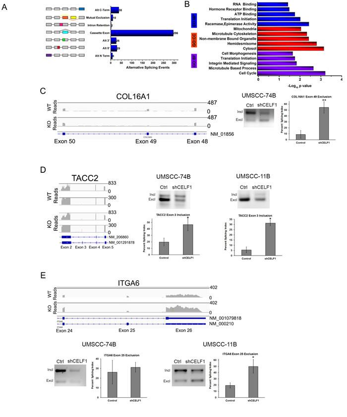 CELF1 protein expression affects alternative splicing.