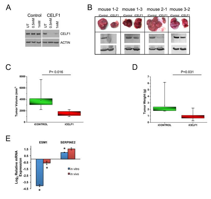 Reduction of CELF1 decreases tumor volume