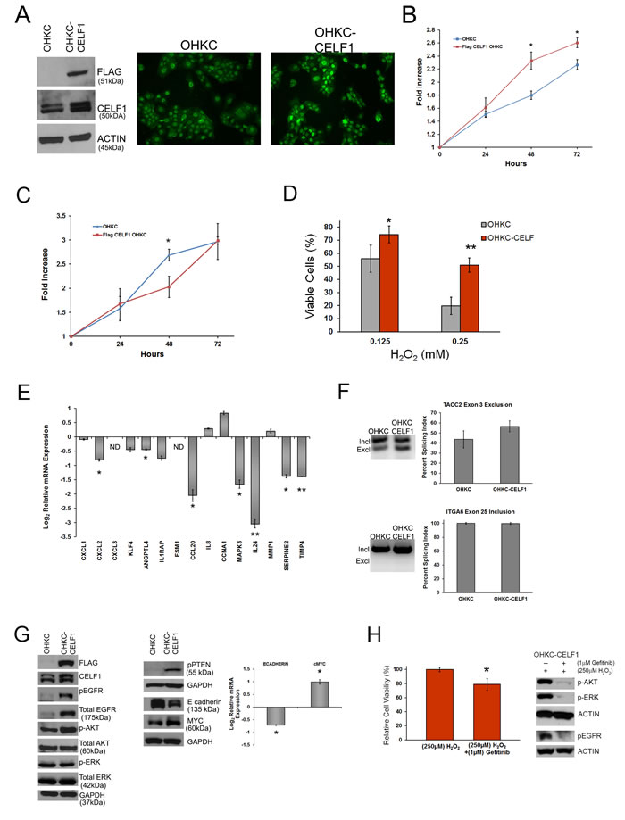 CELF1 overexpression in immortal human oral keratinocytes protects against oxidative stress.