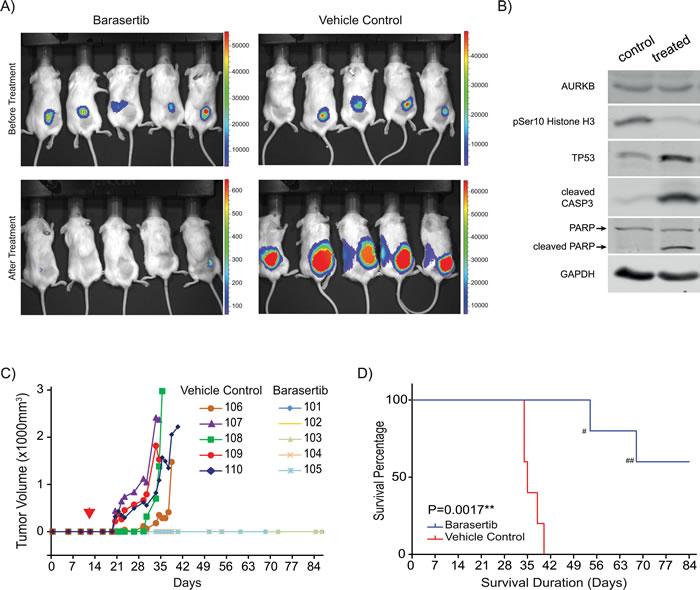 Barasertib inhibits tumor formation in an IMR32 xenograft model.