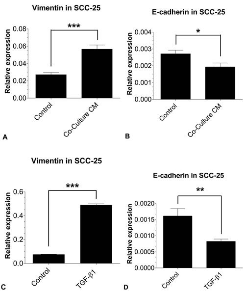EMT-related gene expression in SCC-25 using real time- PCR: The mRNA expressions of the EMT markers vimentin and E-cadherin in SCC-25 cells treated with co-culture conditioned medium (A, B) or 0.9 ng/ml TGF-β1 (C, D) were quantified relative to SCC-25 control cells.