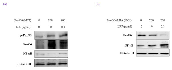 Activation of NF-κB through FoxO6 by LPS.