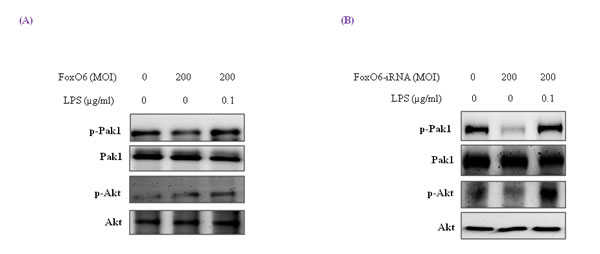 Pak1 activation and insulin signaling by LPS.
