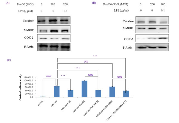 Activation of NF-κB by oxidative stress in HepG2 cells.