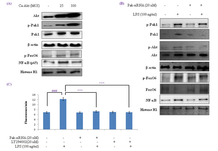Activation of NF-κB by the Pak1 and Akt pathways in HepG2 liver cells.