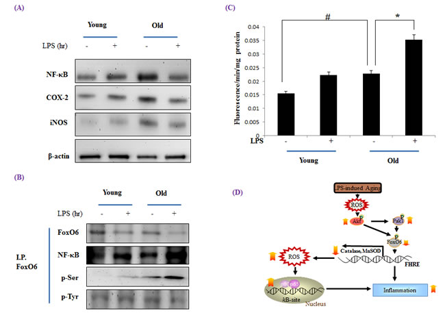 Increased NF-κB activation during LPS induced aging.