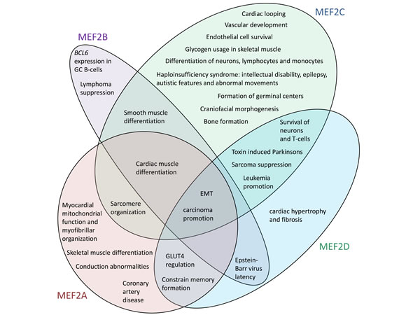 The human MEF2 proteins have distinct but overlapping sets of functions.