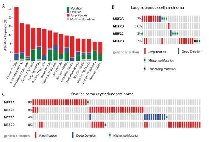 MEF2 proteins may act as oncogenes in several types of carcinoma.