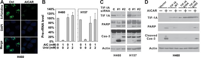 Disruption of TIF-IA mediated pre-rRNA synthesis is responsible for AICAR-induced apoptosis in LKB1-null/depleted cells.